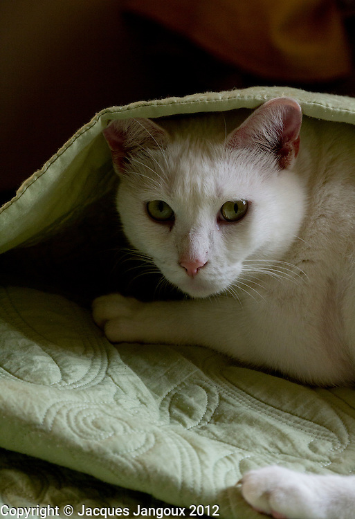 White cat under bed cover.