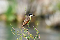 Great Kiskadee (Pitangus sulphuratus) perched in a small tree,  Ajijic, Jalisco, Mexico