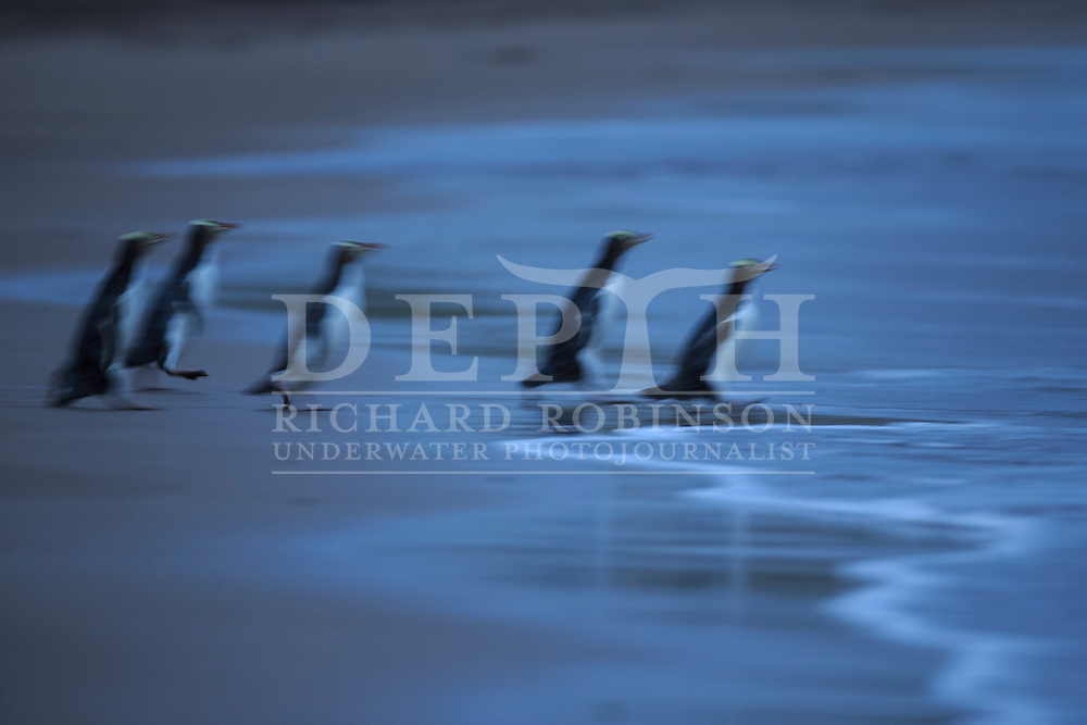 Megadyptes antipodes (Yellow eyed penguin) head to sea at dawn to forage for food at Sandy Bay, Enderby Island, Auckland Islands, New Zealand.<br /> 11 January 2016<br /> Photograph Richard Robinson &copy; 2016