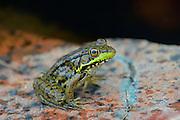 Northern green frog (Rana clamitans) on PreCambrian Shield<br /> Killarney Provincial Park<br /> Ontario<br /> Canada