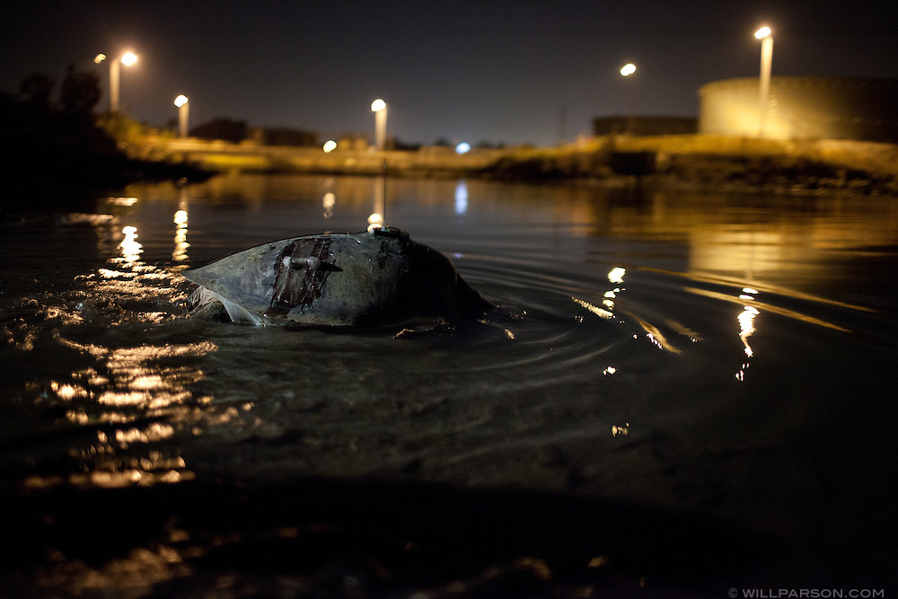 A Green sea turtle known as Susan, wearing both satellite and sonic transmitters, ducks below the surface in front of the now-silent effluent site  known as the Jacuzzi at the defunct South Bay Power Plant. Susan will resurface seconds later, take a gulp of air, and disappear until she is caught again.