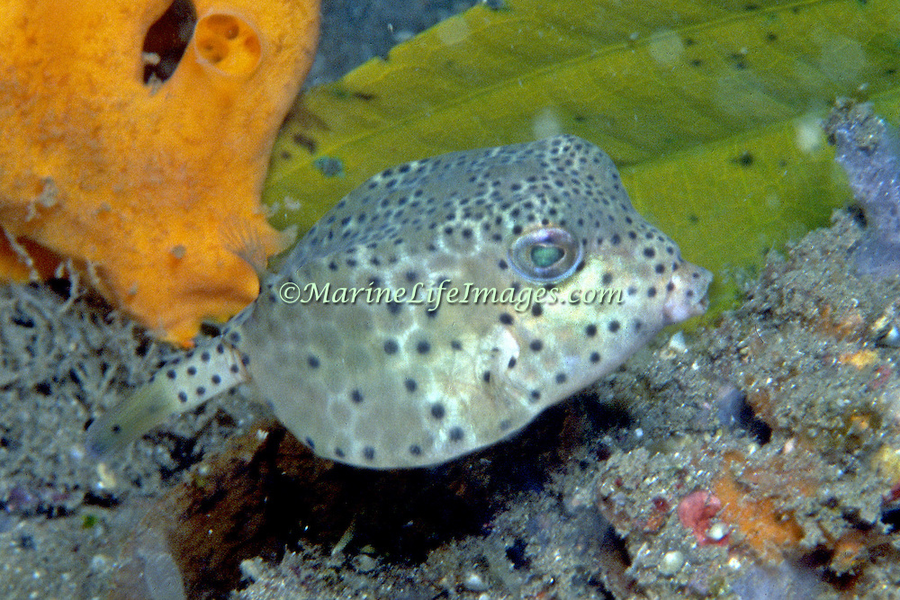 Nasal Boxfish inhabit sheltered bays, sand and mud bottoms. Picture taken Sulawesi, Indonesia.