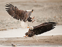 Two mature bald eagles grapple for feeding rights on a salmon.