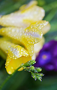 Shooting in garden where I live, I spent the day shooting freesia covered in fresh rain. It was a gentle rain and this made the droplets like tiny pearls suspended on the leaves.