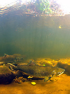 Chinook Salmon (female)<br />