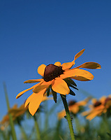 A common prairie flower, the black-eyed susan (Rudbeckia hirta) blooms in July