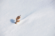Miniature snowdrift downwind of Northern Pin Oak leaf caught in snow
