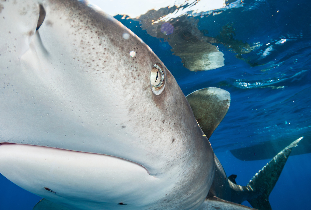 Extreme close up of an oceanic whitetip shark off Cat Island in the Bahamas.