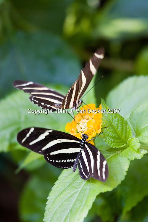 Zebra Longwing butterflies landing/feeding