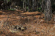 Eastern Diamondback Rattlesnake (Crotalus adamanteus)<br /> Little St Simon's Island, Barrier Islands, Georgia<br /> USA<br /> RANGE: Southeastern United States.<br /> Venomous pitviper.<br /> It is the heaviest venomous snake in the Americas and the largest rattlesnake.