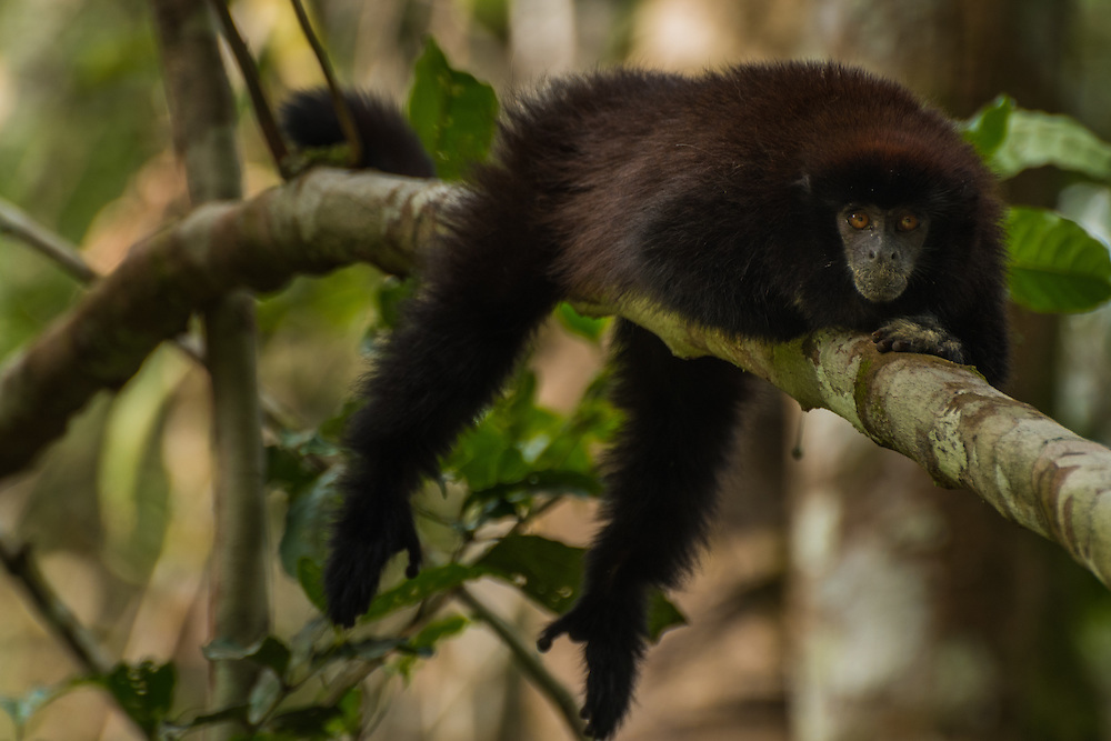 A Yellow-handed Titi monkey is laying lazy on the branch of a tree, Cuyabeno Reserve, Ecuador.