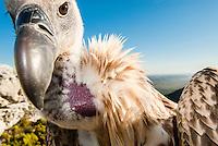Cape Vulture portrait, De Hoop Nature Reserve, Western Cape, South Africa