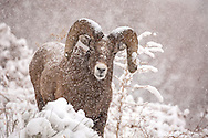 I love photographing wildlife in the falling snow. There's just something about a few strategically placed snowflakes that makes an animal as tough as a bighorn ram look almost cute and cuddly...but don't tell this big guy I said so!