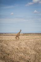 Giraffe on the Masai Mara, Kenya.
