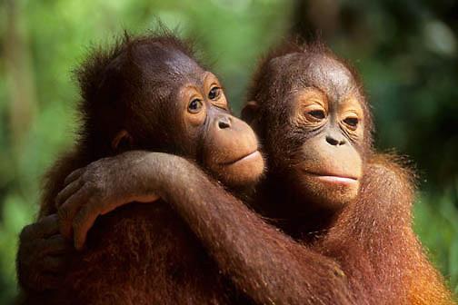 Orangutan, (Pongo pygmaeus) Portrait of juvenile pair hugging. Northern Borneo. Malaysia. Controlled Conditons.