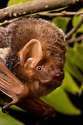 A Seminole Bat (Lasiurus seminolus) photographed in East Texas. The Seminole Bat is closely associated with mixed deciduous forests where Spanish moss is prevalent, though little is known about this bat's life history. Temporarily captive.