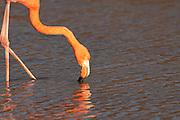 Greater Flamingo (Phoenicopterus ruber) feeding in a lagoon near Bachas Beach on Santa Cruz Island (Indefatigable Island), Galapagos Islands, Ecuador.
