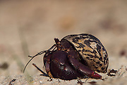 Caribbean Hermit Crab (Coenobita clypeatus) on Halfmoon Caye, Lighthouse Atoll, Belize<br /> Halfmoon Caye, Lighthouse Reef Atoll<br /> Belize<br /> Central America