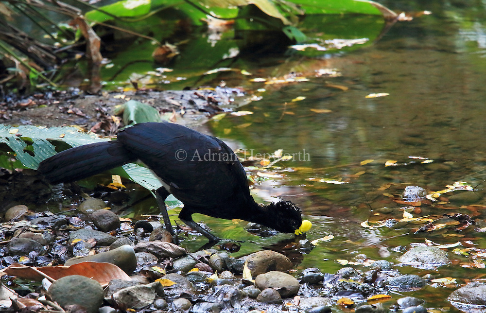 Male Great Curassow (Crax rubra) drinking from rainforest stream. Sirena, Corcovado National Park; Osa Peninsula; Costa Rica. February 2013. We accept payments via PayPal.