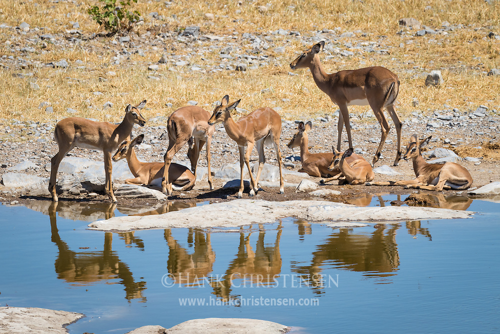 A family of black-faced impala enjoy a leisurely time at a waterhole midday, Etosha National Park, Africa.