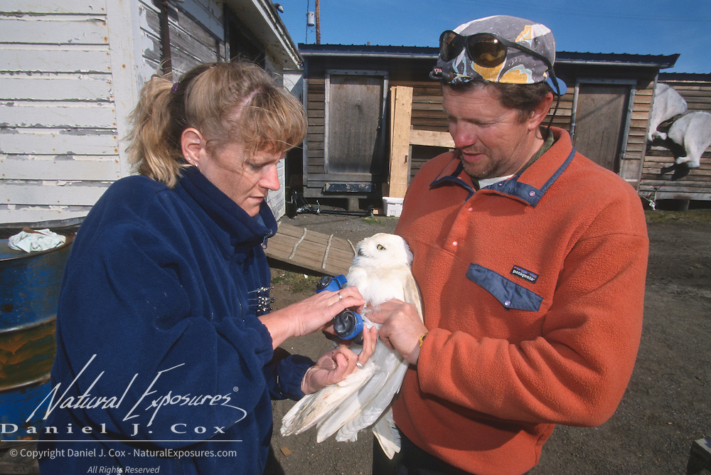 Denver Holt and Linda Schueck putting a satellite transmitter on a Snowy Owl (Bubo scandiacus).