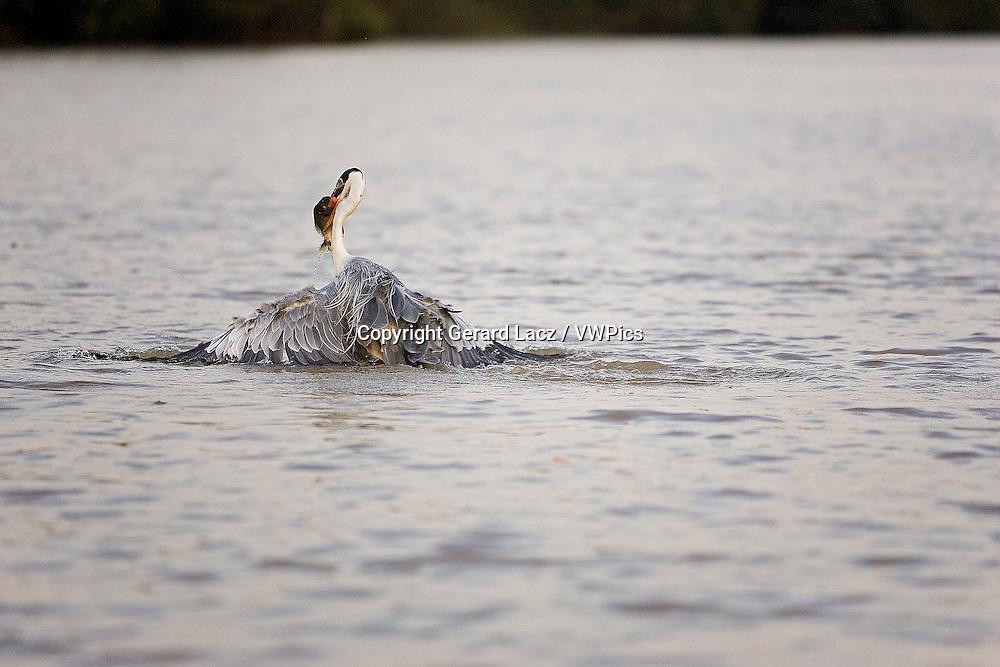 WHITE-NECKED HERON ardea cocoi, ADULT FISHING IN RIVER, LOS LIANOS IN VENEZUELA