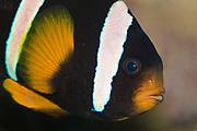 Clark's Anemonefish, Amphiprion clarkii.