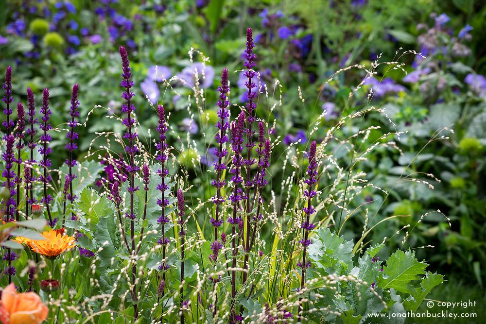Salvia nemorosa 'Caradonna' AGM syn. Salvia &times; sylvestris 'Caradonna'.<br /> Balkan clary with Melica altissima 'Alba'