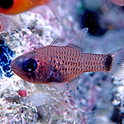 Freckled Cardinalfish inhabit shallow patch reefs and surrounding areas of sand and rubble in Tropical West Atlantic; picture taken Grand Cayman.