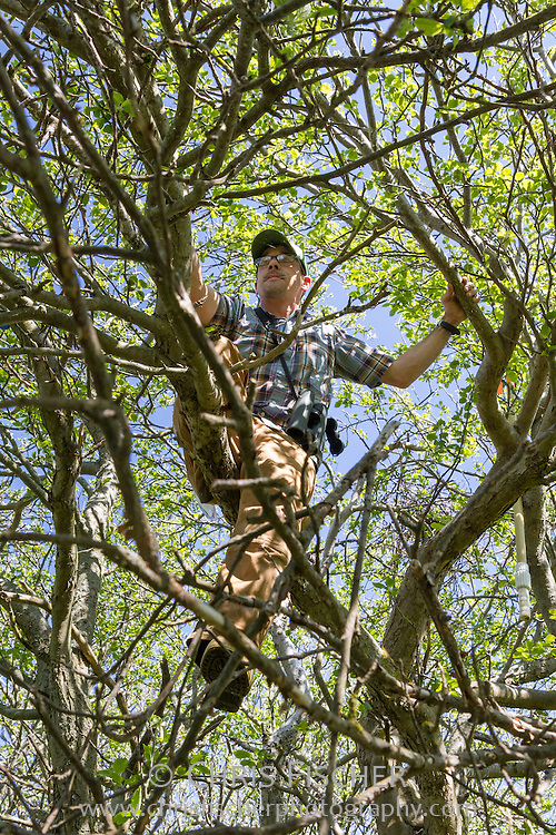 Biologist Robby Lambert climbs a tree to get a better look at a nest during the 2013 wading bird census on Stratton Island, Maine.