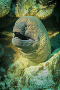 The Giant Moray Eel is the largest of the moray eel species (Muraenidae) reaching up to 3 metres (9.8 ft) in length and 30 kg (66 lb) in weight.