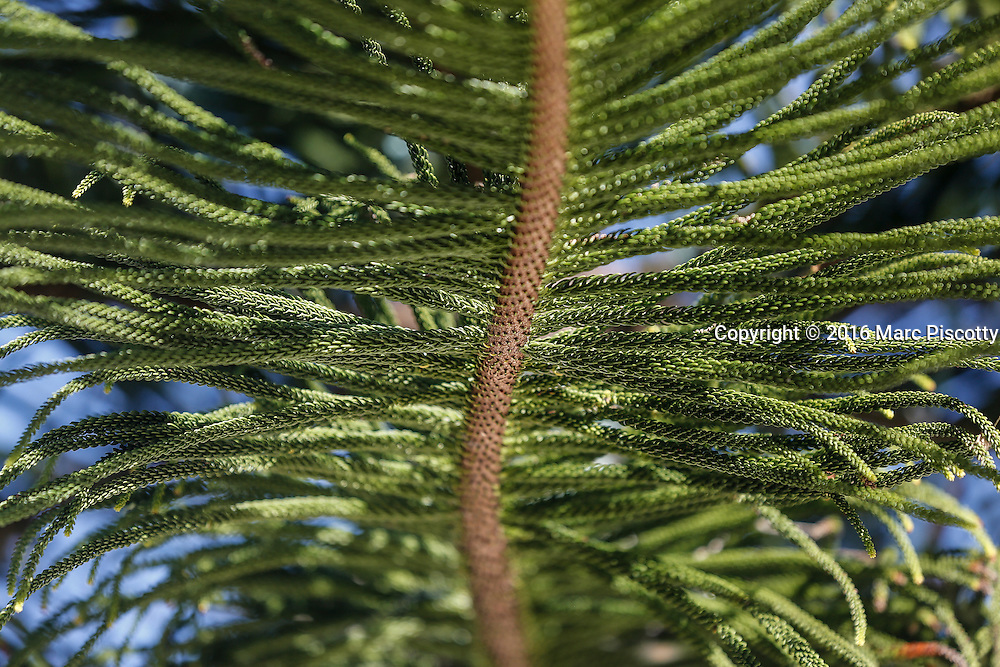 """SHOT 12/7/16 12:41:34 PM - A detail shot of the underside of a branch of Araucaria columnaris, the Coral reef araucaria, Cook pine, New Caledonia pine, Cook araucaria, or columnar araucaria. It is a species of conifer in the family Araucariaceae. Araucaria columnaris is a distinctive narrowly conical tree growing up to 60 metres (200 ft) tall in its native habit. The trees have a slender, spire-like crown. To some they look like unusually tall, thin """"Christmas trees"""". The bark of the Cook pine peels off in thin paper-like sheets or strips and is rough, grey, and resinous. The relatively short, mostly horizontal branches are in whorls around the slender, upright to slightly leaning trunk. The branches are lined with cord-like, horizontal branchlets. The branchlets are covered with small, green, incurved, point-tipped, spirally arranged, overlapping leaves. The young leaves are needle-like, while the broader adult leaves are triangular and scale-like.  (Photo by Marc Piscotty / © 2016)"""