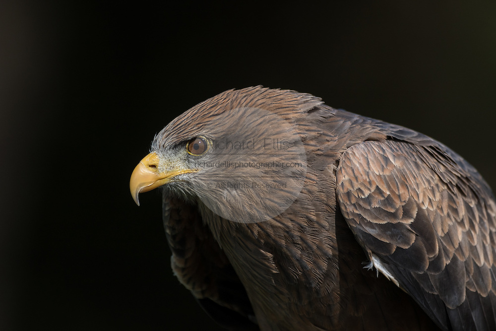 Yellow-billed kite in profile at the Center for Birds of Prey November 15, 2015 in Awendaw, SC.