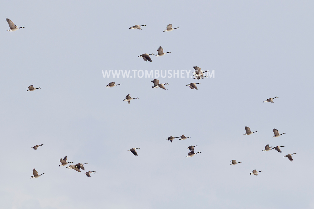 Goshen, New York  - Canada geese fly over a cornfield on a winter afternoon, Feb. 23, 2014.