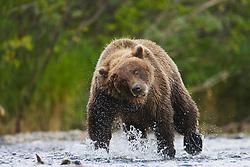 A coastal brown bear ( Ursus arctos ) runs through water while fishing, Katmai Peninsula, Alaska