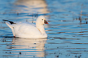 Ross's Goose, Chen rossii, neck collar, Bosque del Apache NWR, New Mexico