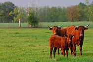 27/04/07 - PONT ASTIER - PUY DE DOME - FRANCE - Troupeau allaitant de vaches Salers - Photo Jerome CHABANNE