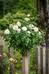 Rosa 'Tranquillity' syn 'Ausnoble' grown as a standard