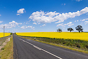 rural road between fields of flowering canola crop under blue sky and cumulus cloud  near Cudal, News South Wales, Austraila.