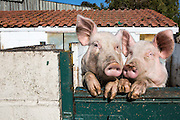 Two pigs, look out of their sty. Hartcliffe Community Park farm Bristol, UK.