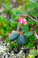 BOG BILBERRY Vaccinium uliginosum (Ericaceae) Height to 70cm. Rather straggly, deciduous undershrub with round, brown twigs. Found on damp moorland and mountain ledges. FLOWERS are 6mm long, globular urn-shaped and pale pink; borne in clusters (May-Jun). FRUITS are globular, bluish black berries. LEAVES are ovate, bluish green and untoothed. STATUS-Local, in N England and Scotland.