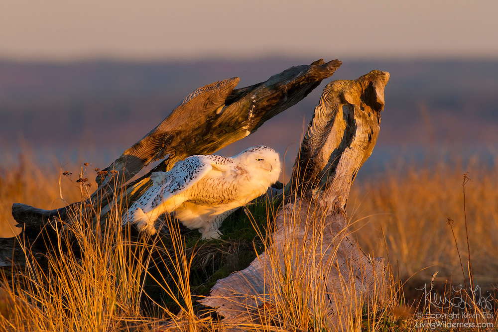 A snowy owl (Nyctea scandiaca) stretches while resting in an old stump at Damon Point in Ocean Shores, Washington. Snowy owls, which spend the summer in the northern circumpolar region north of 60 degrees latitude, have a typical winter range that includes Alaska, Canada and northern Eurasia. Every several years, for reasons still unexplained, the snowy owls migrate much farther south in an event known as an irruption. During one irruption, a snowy owl was found as far south as the Caribbean. During the 2011-2012 irruption, Ocean Shores on the Washington coast was the winter home for an especially large number of snowy owls. Snowy owls tend to prefer coastal and plains areas, which most resemble the open tundra that serves as their typical home.