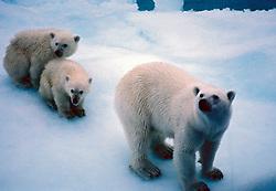 Urso Polar, Polo Norte e Groelandia. O urso-polar (Ursus maritimus), tambem conhecido como urso-branco, e um mamifero membro da familia dos Ursideos, tipico e nativo do Artico e atualmente o maior carnivoro terrestre conhecido/ The polar bear (Ursus maritimus), also known as the white bear, northern bear, sea bear, ice bear or nanuq..Foto © Christiana Carvalho / Argosfoto