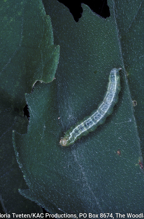 Conchylodes ovulalis,Larva