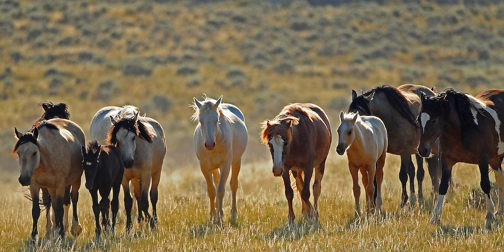This colorful band of mustangs makes their way through the high desert of McCullough Peaks.
