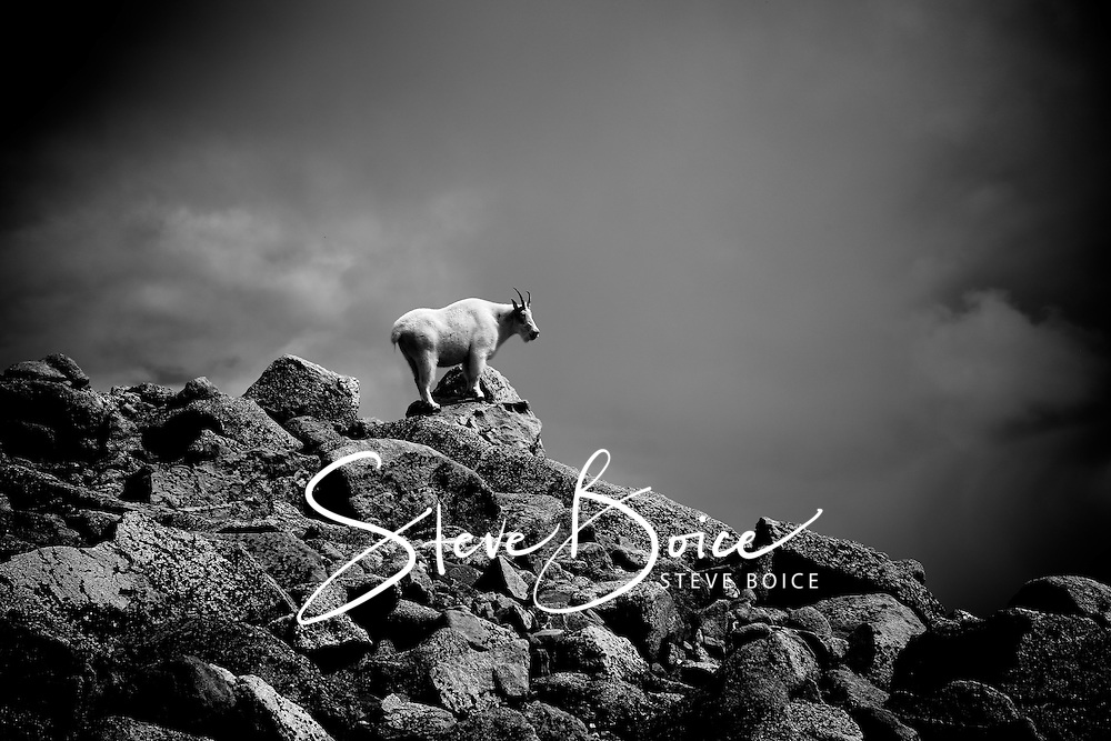 Mountain goat in black and white