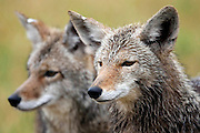 Coyotes-Canis Latrans, at the Millville Predator Research Facility in Millville, Utah, June 14, 2009. The lab, works on non-lethal ways to prevent the predators from preying on livestock. Colin Braley/Photo