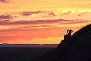 A Bighorn sheep looks out over the Sage Creek Wilderness at sunset in Badlands National Park. While wild sheep populations continue to decline throughout much of their range, Park Service biologists say Bighorn numbers are rising in the Badlands.