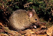 European house mouse (Mus musculus).