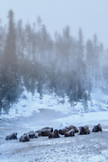 Bison enduring a freezing morning in Yellowstone National Park